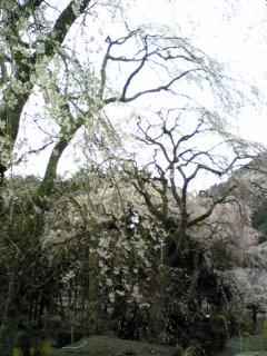 そして枝垂れ桜。